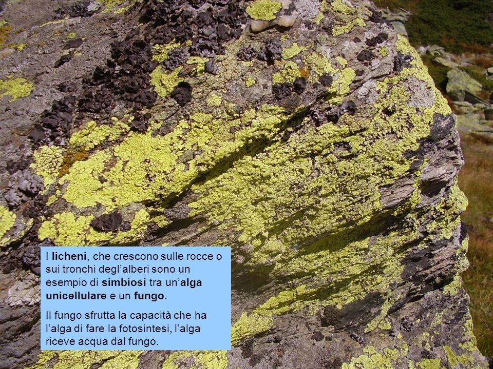 I licheni, che crescono sulle rocce o sui tronchi degl'alberi sono un esempio di simbiosi tra un'alga unicellulare e un fungo.