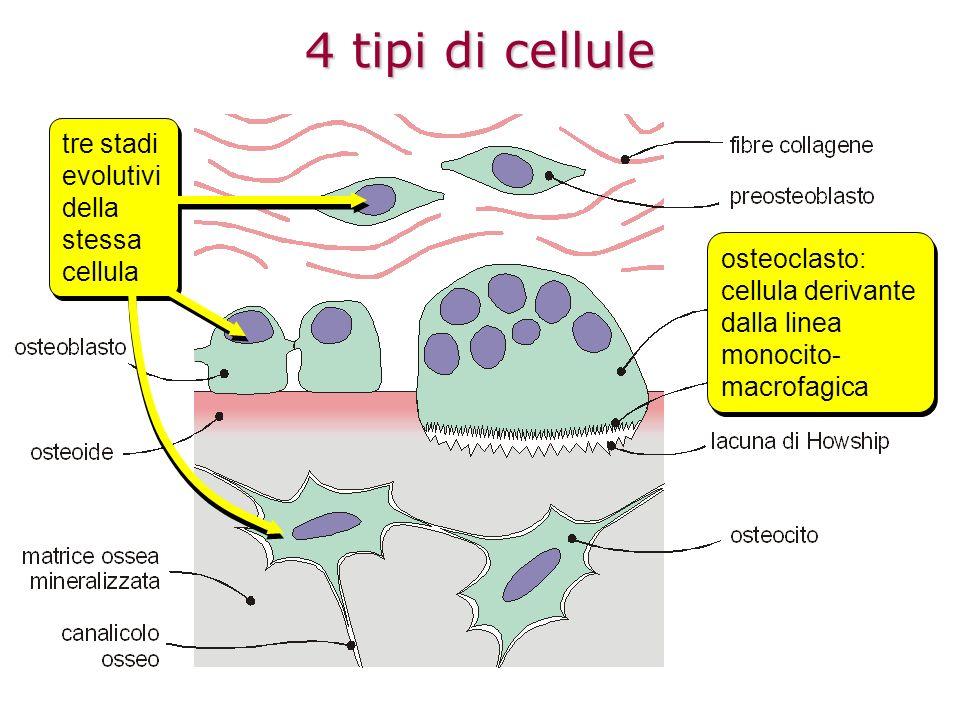 4 tipi di cellule tre stadi evolutivi della stessa cellula