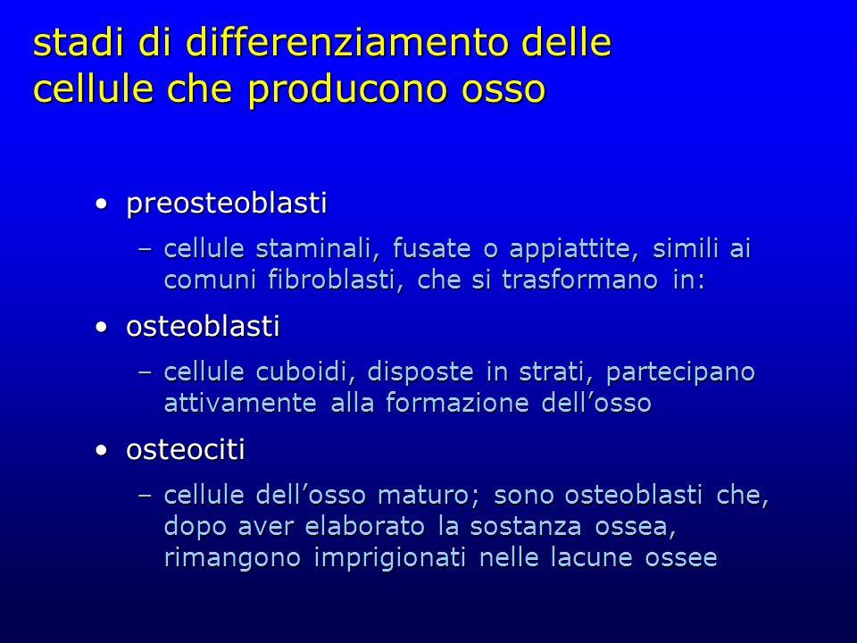 stadi di differenziamento delle cellule che producono osso
