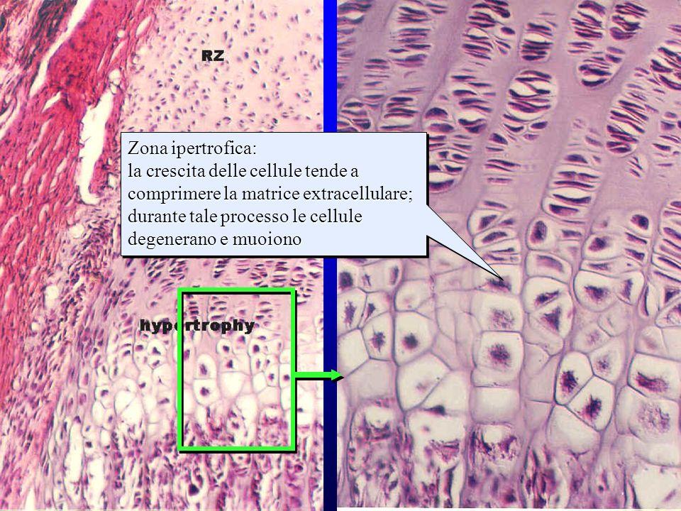 strati della cartilagine di accrescimento (2)