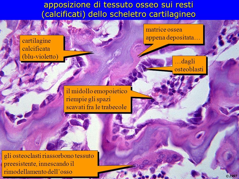 apposizione di tessuto osseo sui resti (calcificati) dello scheletro cartilagineo
