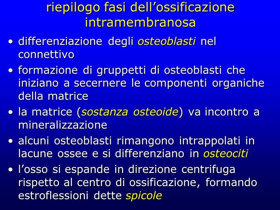 riepilogo fasi dell'ossificazione intramembranosa