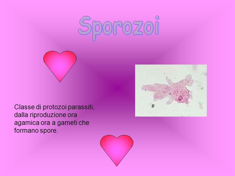 Sporozoi Classe di protozoi parassiti, dalla riproduzione ora agamica ora a gameti che formano spore.