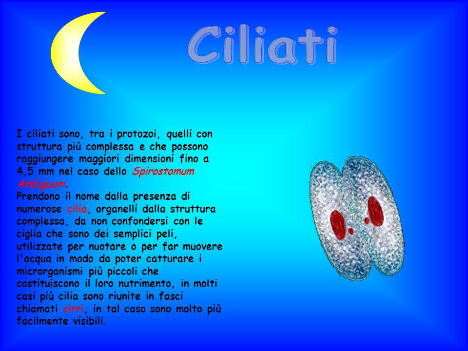 Ciliati