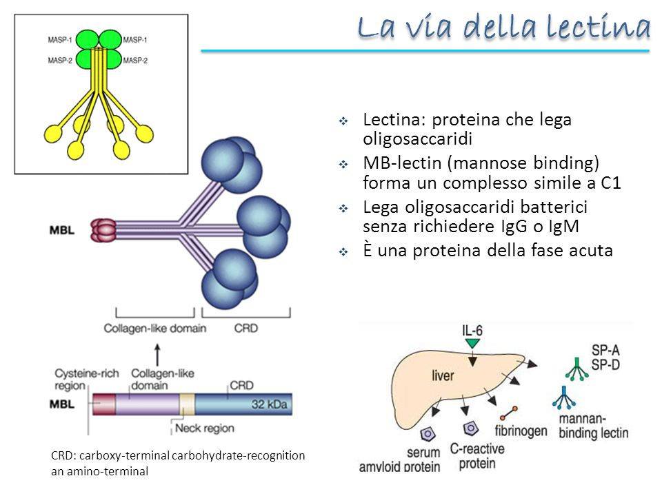 La via della lectina Lectina: proteina che lega oligosaccaridi