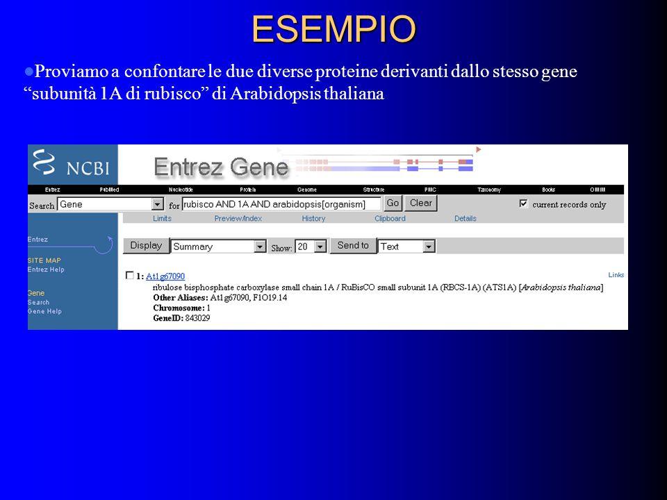 ESEMPIO Proviamo a confontare le due diverse proteine derivanti dallo stesso gene subunità 1A di rubisco di Arabidopsis thaliana.