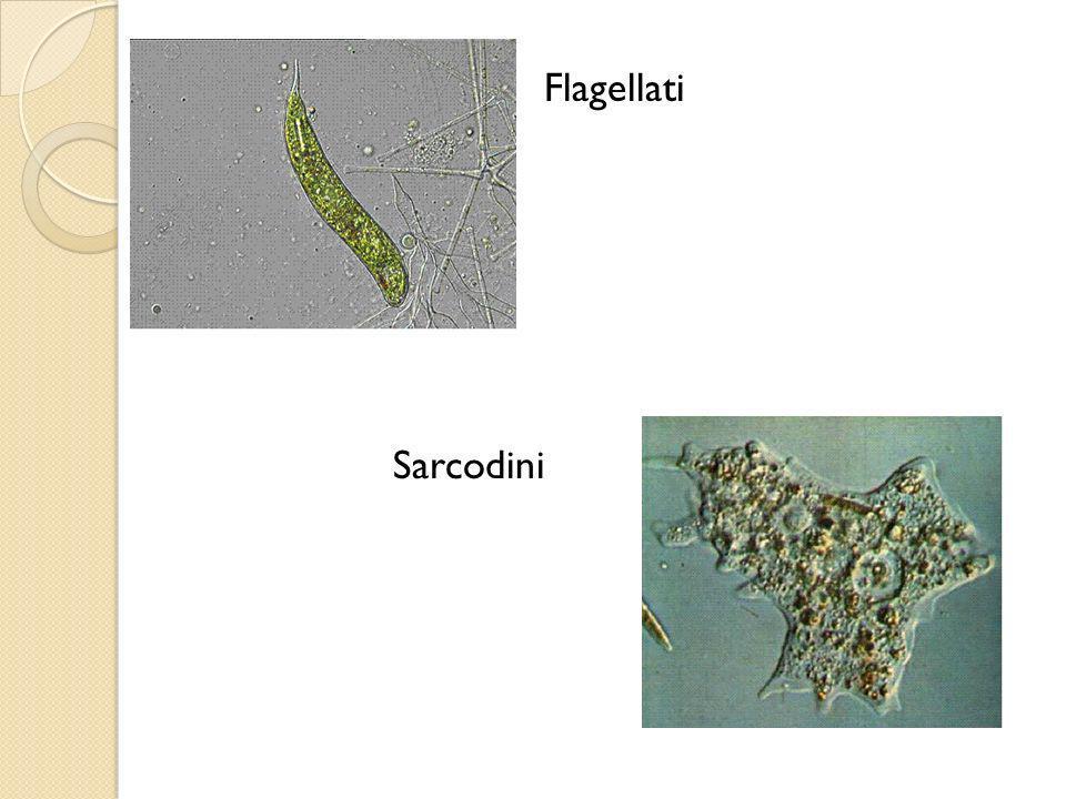 Flagellati Sarcodini