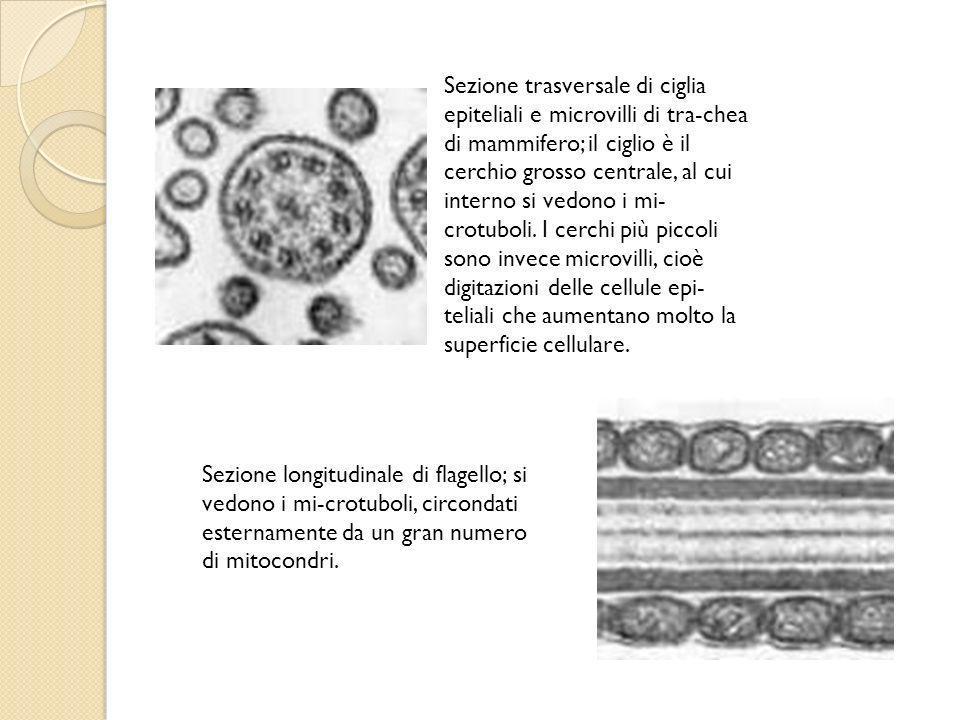 Sezione trasversale di ciglia epiteliali e microvilli di tra-chea di mammifero; il ciglio è il cerchio grosso centrale, al cui interno si vedono i mi-crotuboli. I cerchi più piccoli sono invece microvilli, cioè digitazioni delle cellule epi-teliali che aumentano molto la superficie cellulare.