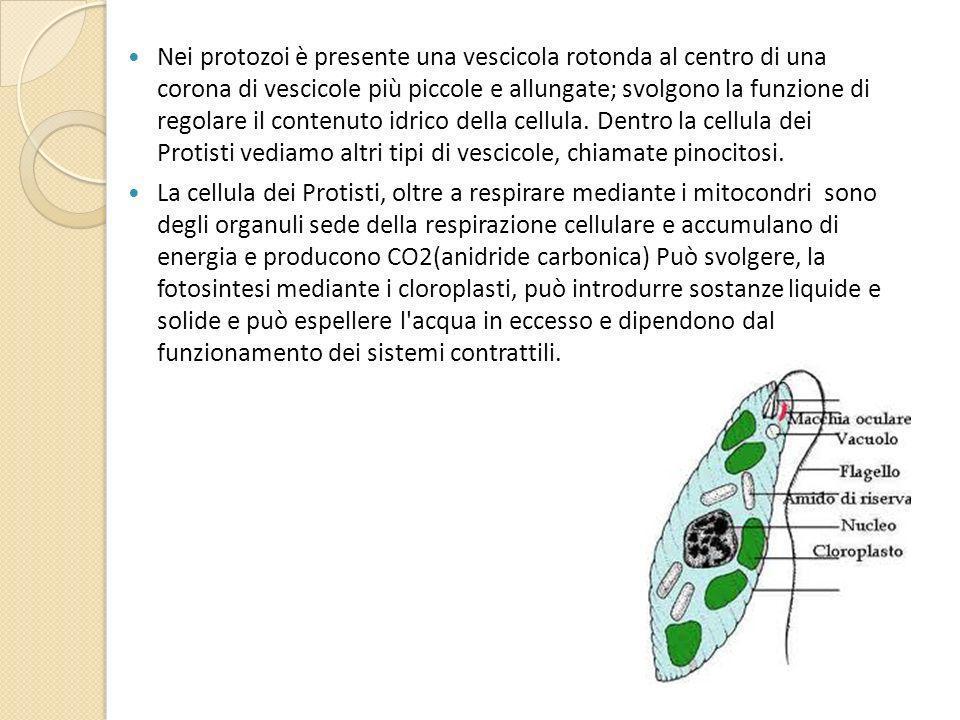 Nei protozoi è presente una vescicola rotonda al centro di una corona di vescicole più piccole e allungate; svolgono la funzione di regolare il contenuto idrico della cellula. Dentro la cellula dei Protisti vediamo altri tipi di vescicole, chiamate pinocitosi.
