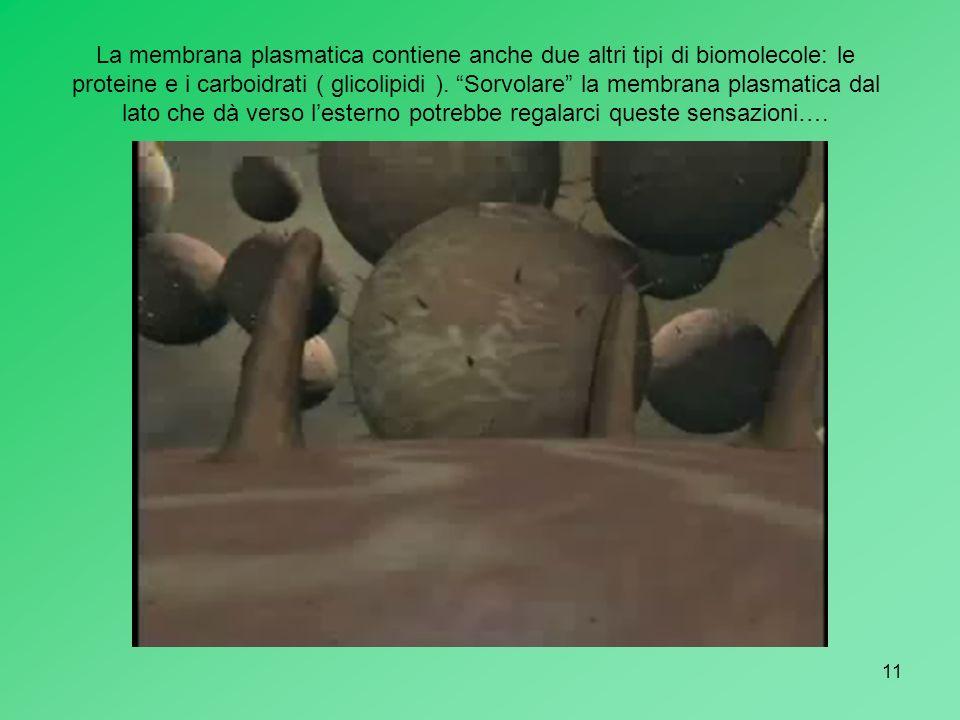 La membrana plasmatica contiene anche due altri tipi di biomolecole: le proteine e i carboidrati ( glicolipidi ).