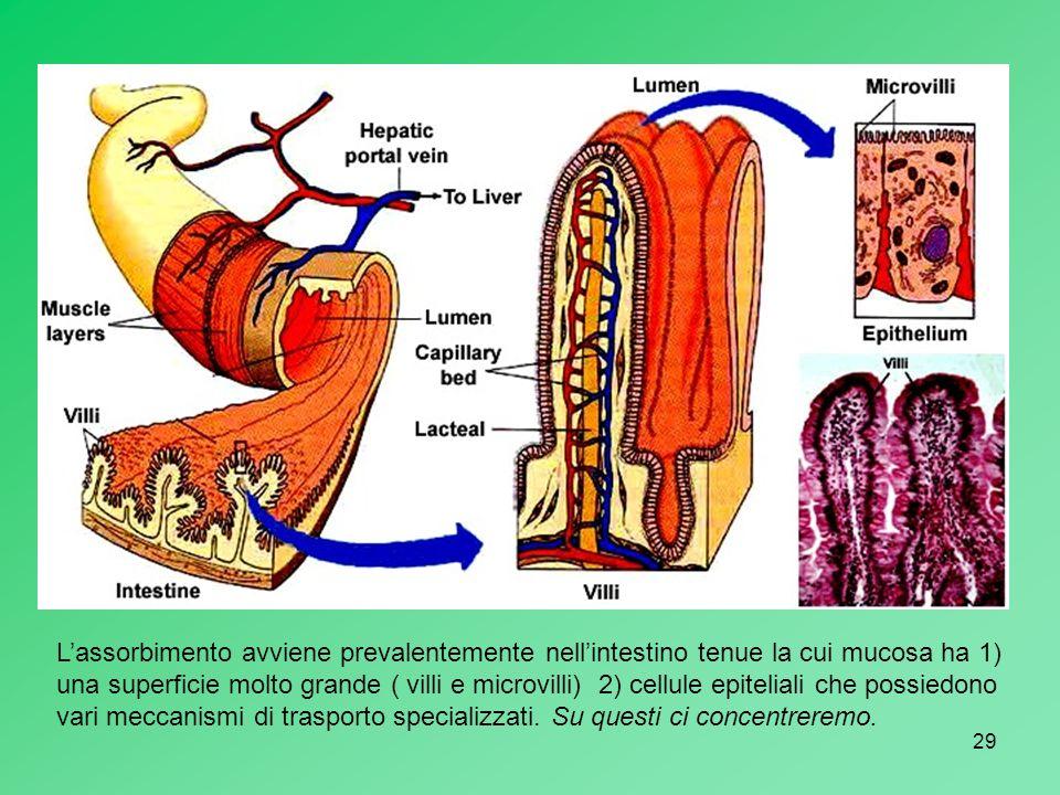 L'assorbimento avviene prevalentemente nell'intestino tenue la cui mucosa ha 1) una superficie molto grande ( villi e microvilli) 2) cellule epiteliali che possiedono vari meccanismi di trasporto specializzati.