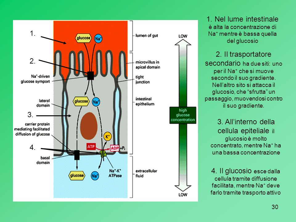 1. Nel lume intestinale è alta la concentrazione di Na+ mentre è bassa quella del glucosio