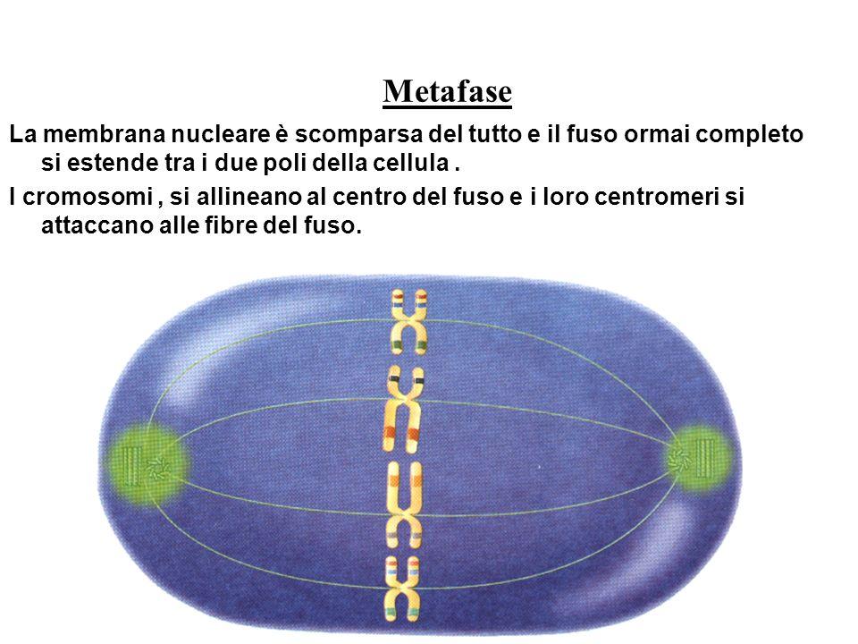 Metafase La membrana nucleare è scomparsa del tutto e il fuso ormai completo si estende tra i due poli della cellula .