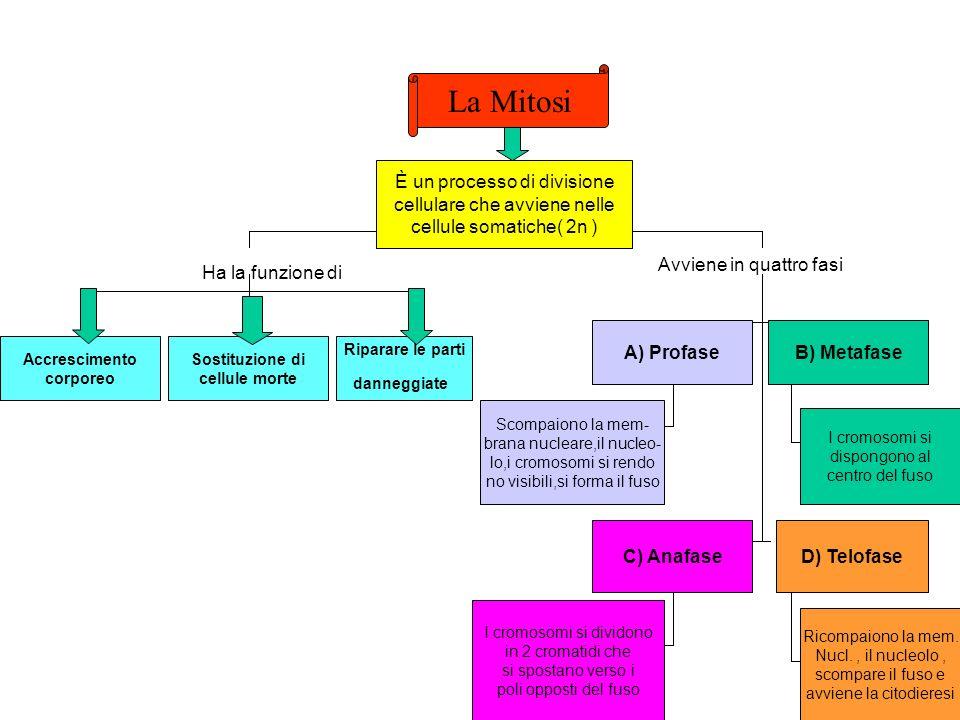 La Mitosi È un processo di divisione cellulare che avviene nelle