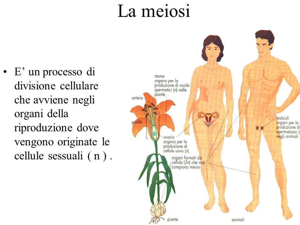 La meiosiE' un processo di divisione cellulare che avviene negli organi della riproduzione dove vengono originate le cellule sessuali ( n ) .