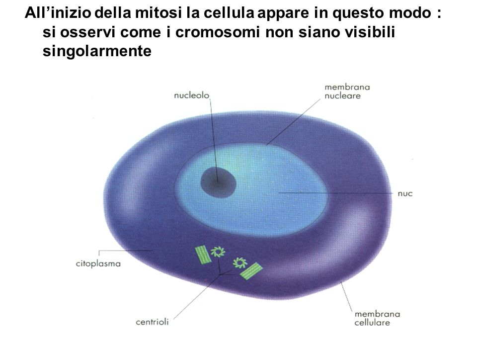All'inizio della mitosi la cellula appare in questo modo : si osservi come i cromosomi non siano visibili singolarmente