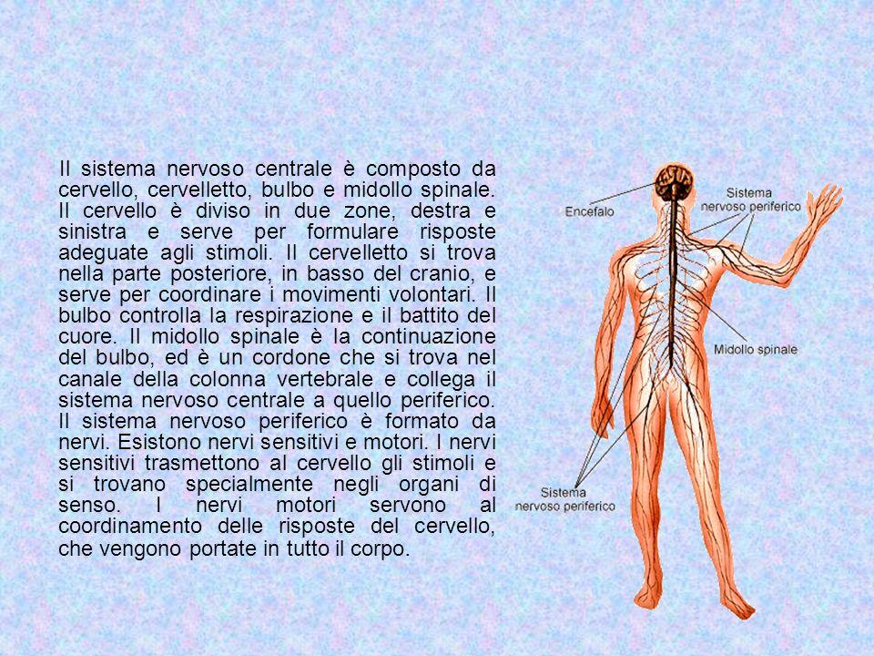 Il sistema nervoso centrale è composto da cervello, cervelletto, bulbo e midollo spinale.