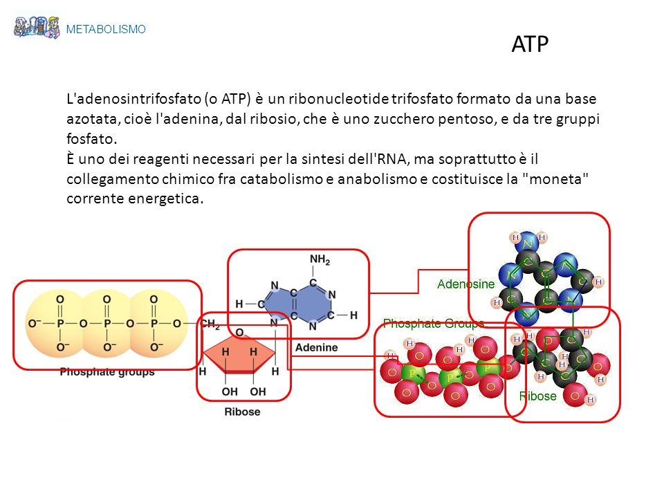 METABOLISMO ATP.