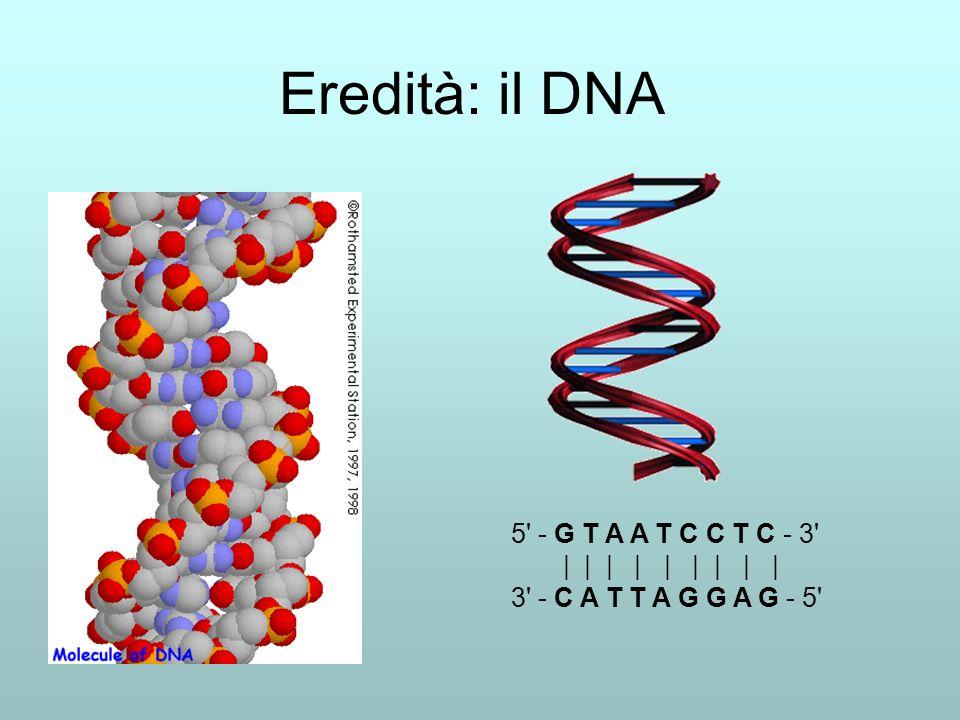 Eredità: il DNA 5 - G T A A T C C T C - 3