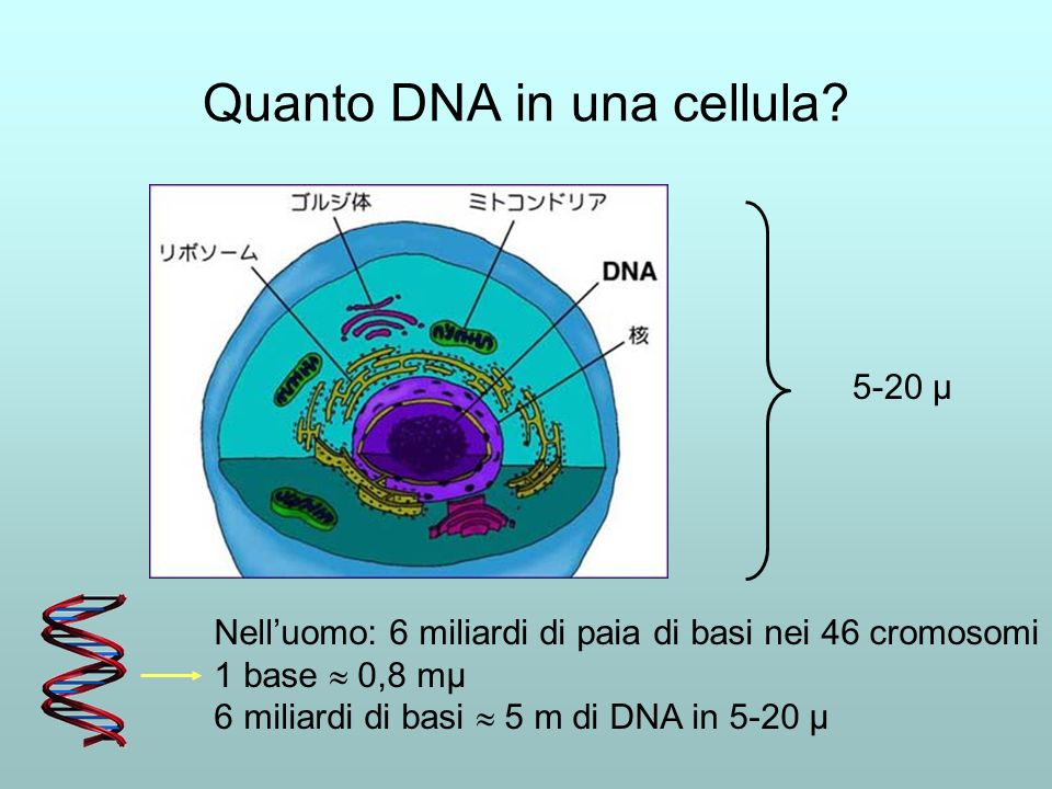 Quanto DNA in una cellula