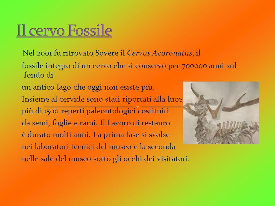 Il cervo Fossile Nel 2001 fu ritrovato Sovere il Cervus Acoronatus, il