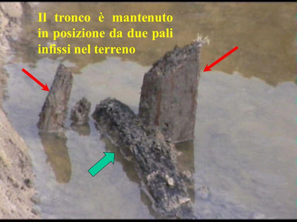 Il tronco è mantenuto in posizione da due pali infissi nel terreno