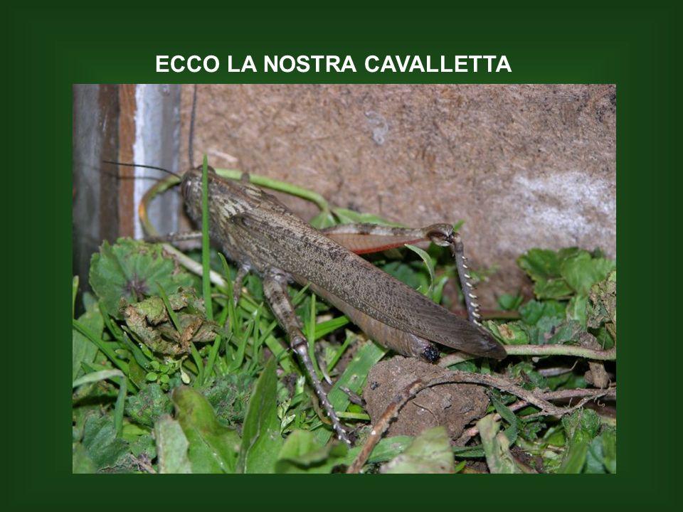 ECCO LA NOSTRA CAVALLETTA