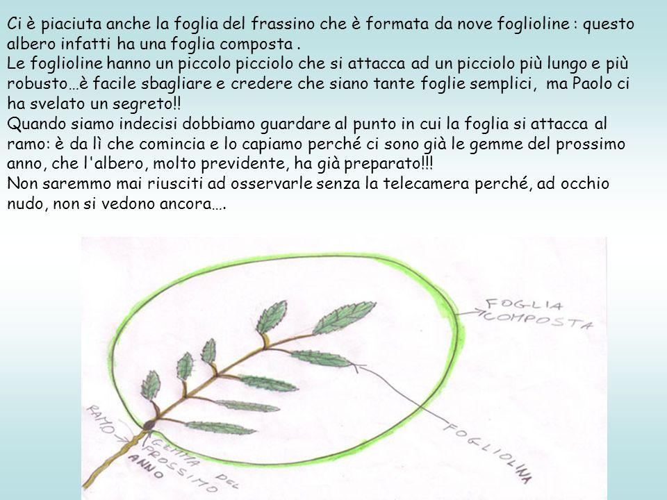 Ci è piaciuta anche la foglia del frassino che è formata da nove foglioline : questo albero infatti ha una foglia composta .