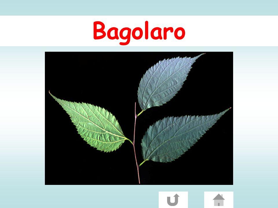 Bagolaro