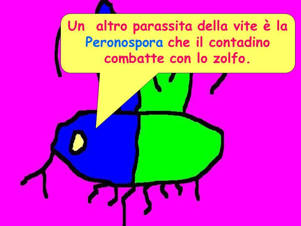 Un altro parassita della vite è la Peronospora che il contadino combatte con lo zolfo.