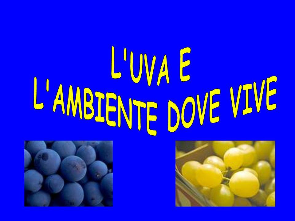 L UVA E L AMBIENTE DOVE VIVE