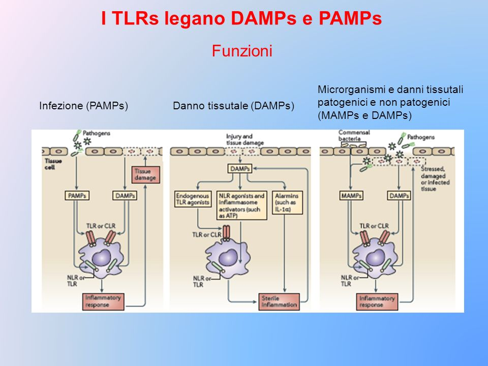 I TLRs legano DAMPs e PAMPs
