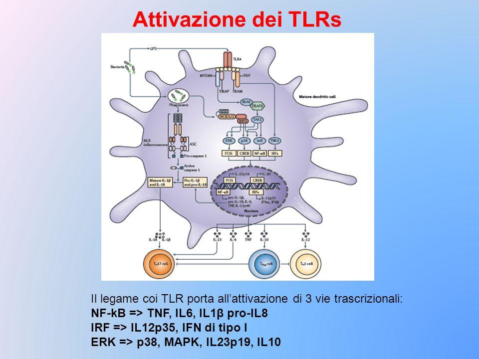Attivazione dei TLRs Il legame coi TLR porta all'attivazione di 3 vie trascrizionali: NF-kB => TNF, IL6, IL1β pro-IL8.