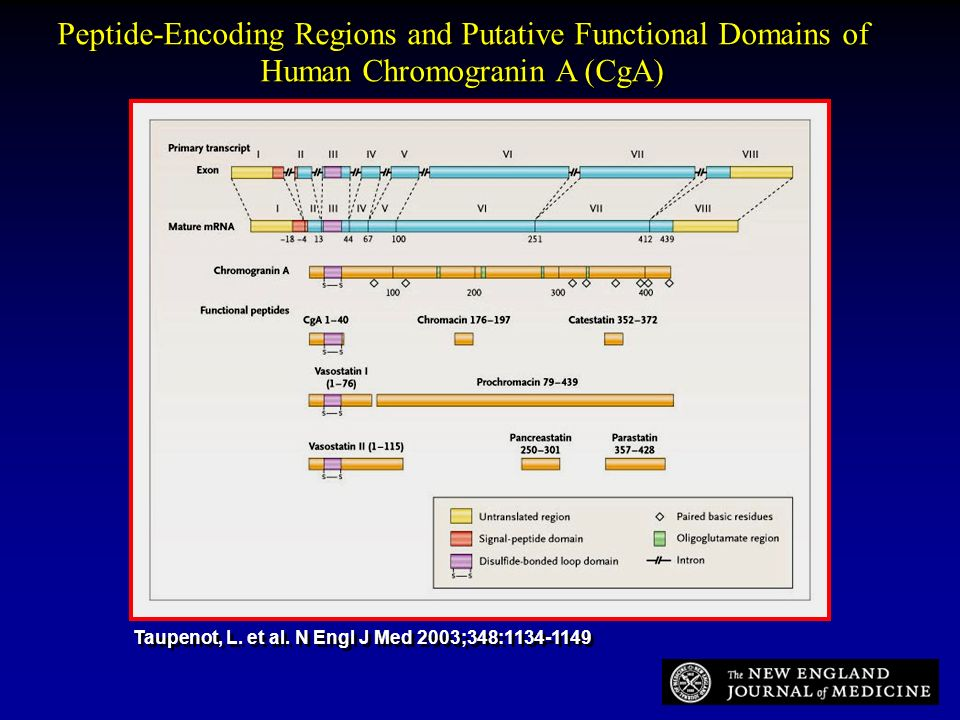 Peptide-Encoding Regions and Putative Functional Domains of Human Chromogranin A (CgA)