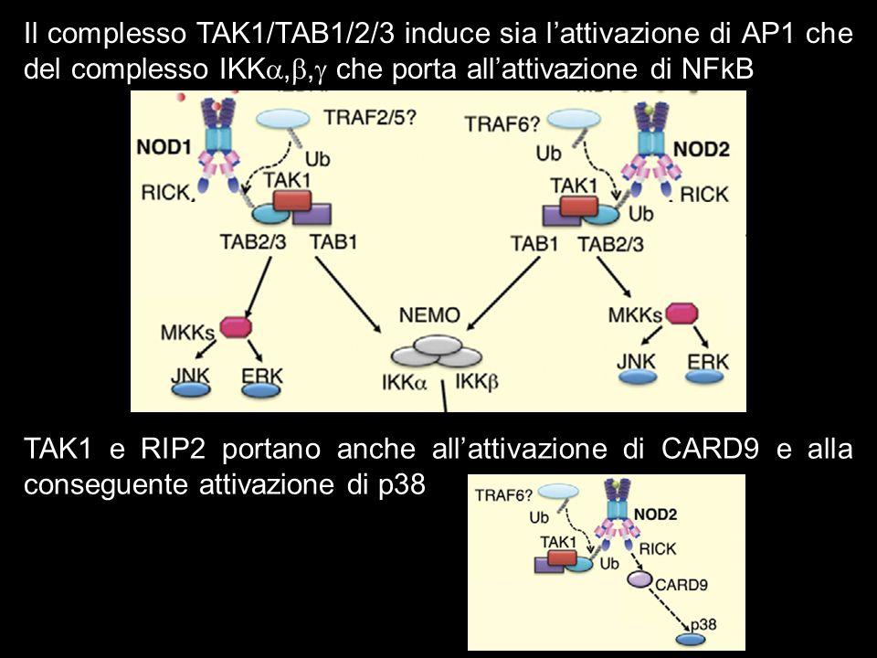 Il complesso TAK1/TAB1/2/3 induce sia l'attivazione di AP1 che del complesso IKK,b, che porta all'attivazione di NFkB