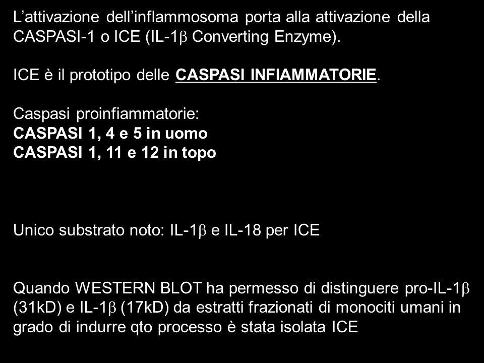 L'attivazione dell'inflammosoma porta alla attivazione della CASPASI-1 o ICE (IL-1 Converting Enzyme).
