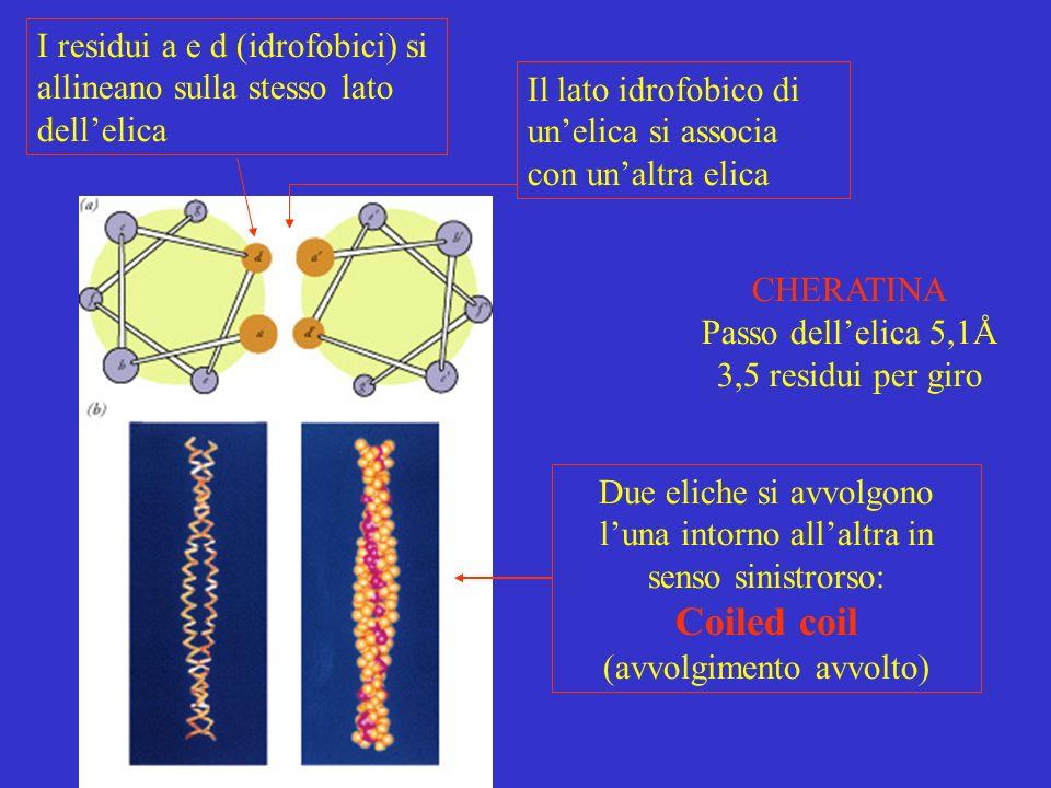 I residui a e d (idrofobici) si allineano sulla stesso lato dell'elica