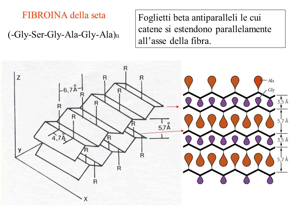 FIBROINA della seta Foglietti beta antiparalleli le cui catene si estendono parallelamente all'asse della fibra.