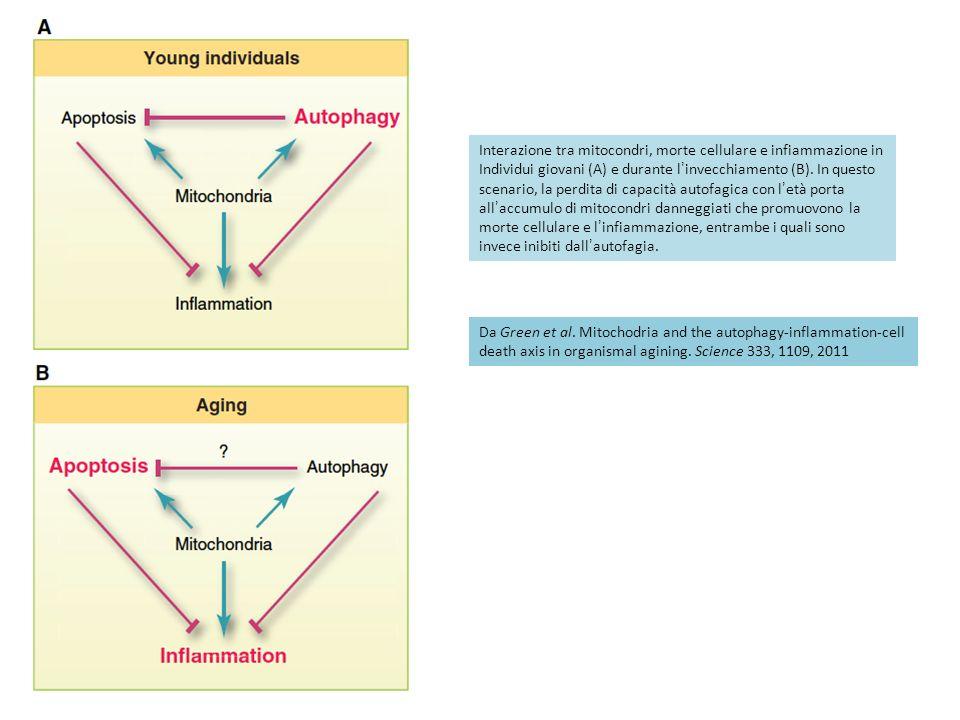 Interazione tra mitocondri, morte cellulare e infiammazione in