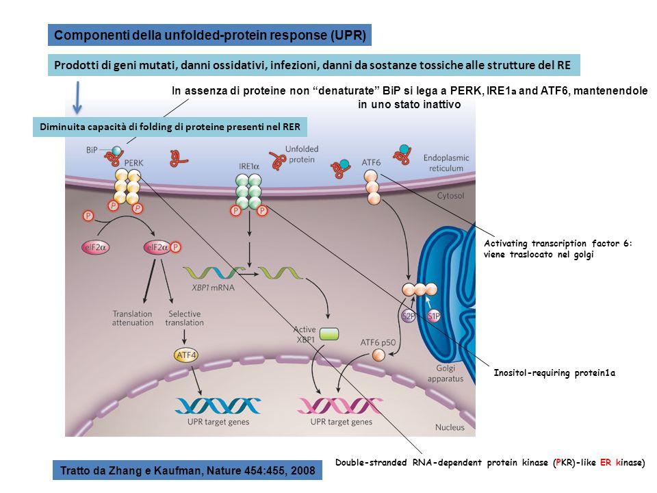 Componenti della unfolded-protein response (UPR)
