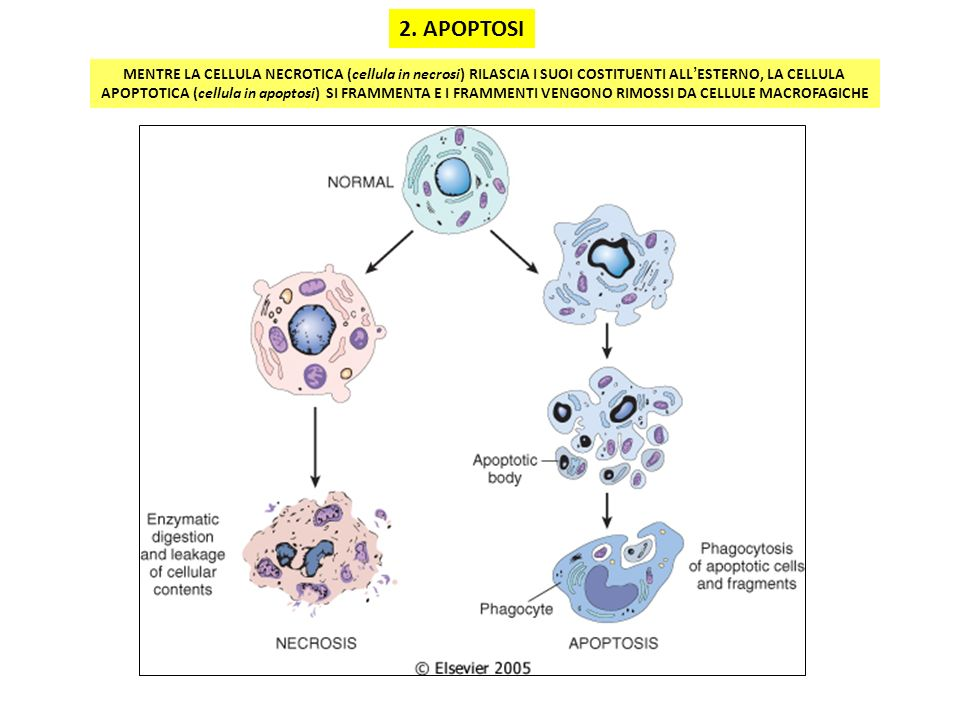 2. APOPTOSI MENTRE LA CELLULA NECROTICA (cellula in necrosi) RILASCIA I SUOI COSTITUENTI ALL'ESTERNO, LA CELLULA.