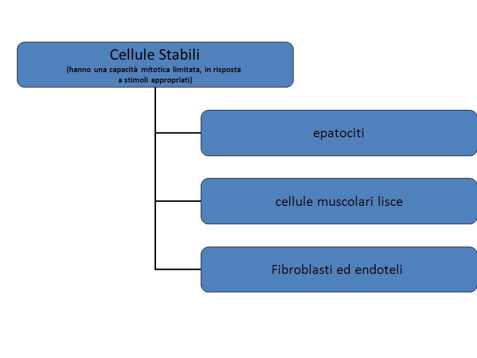 Cellule Stabili epatociti cellule muscolari lisce