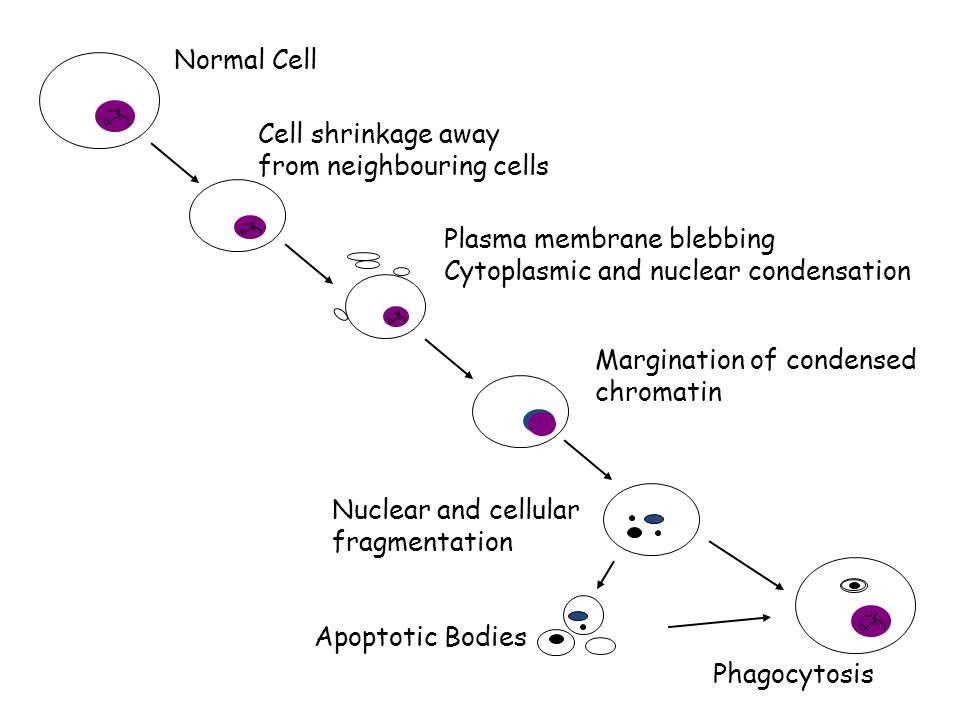 Normal CellCell shrinkage away from neighbouring cells. Plasma membrane blebbing. Cytoplasmic and nuclear condensation.