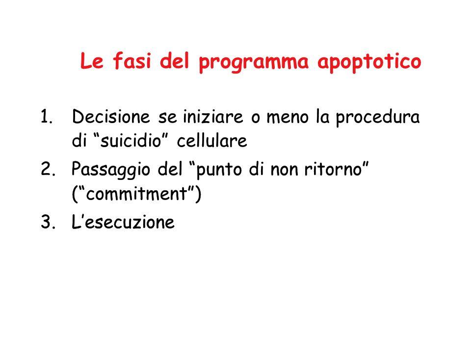Le fasi del programma apoptotico