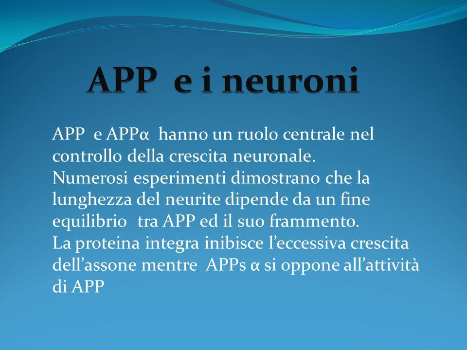 APP e i neuroni APP e APPα hanno un ruolo centrale nel controllo della crescita neuronale.