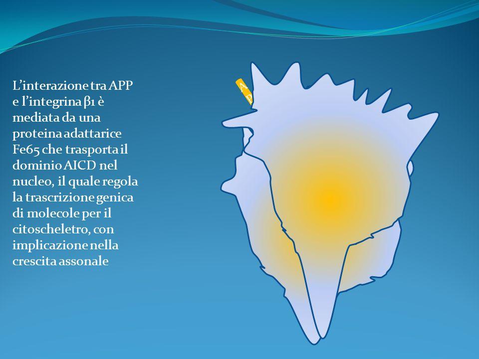 L'interazione tra APP e l'integrina β1 è mediata da una proteina adattarice
