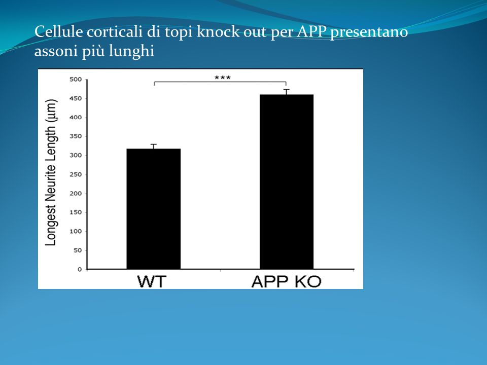 Cellule corticali di topi knock out per APP presentano assoni più lunghi