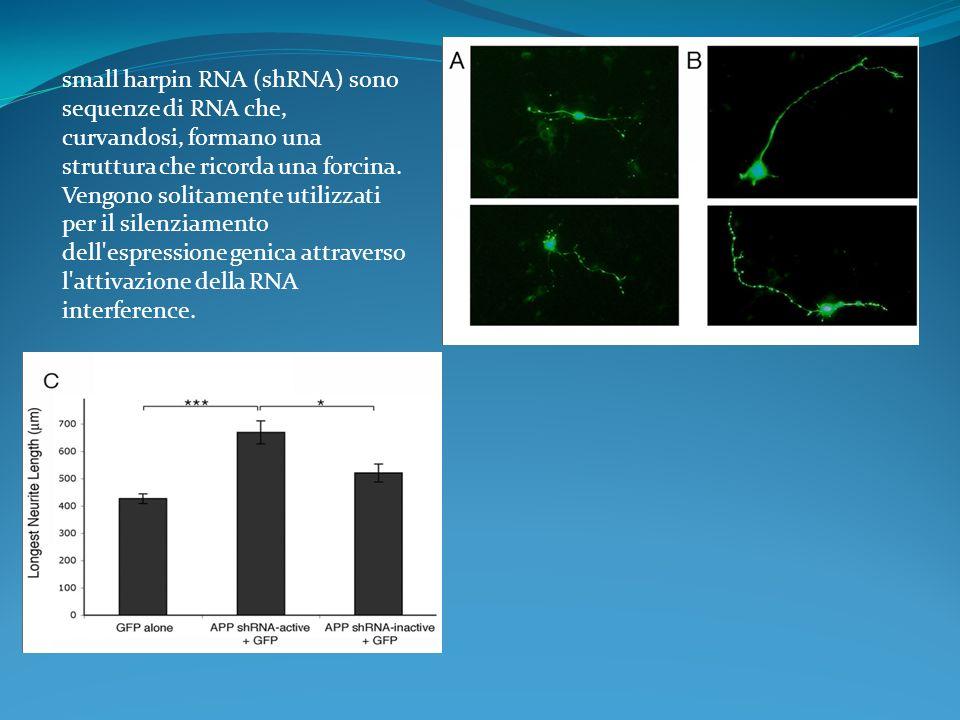 small harpin RNA (shRNA) sono sequenze di RNA che, curvandosi, formano una struttura che ricorda una forcina.