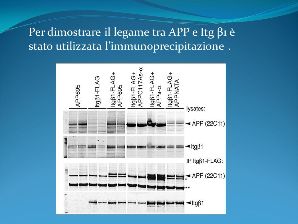Per dimostrare il legame tra APP e Itg β1 è stato utilizzata l'immunoprecipitazione .