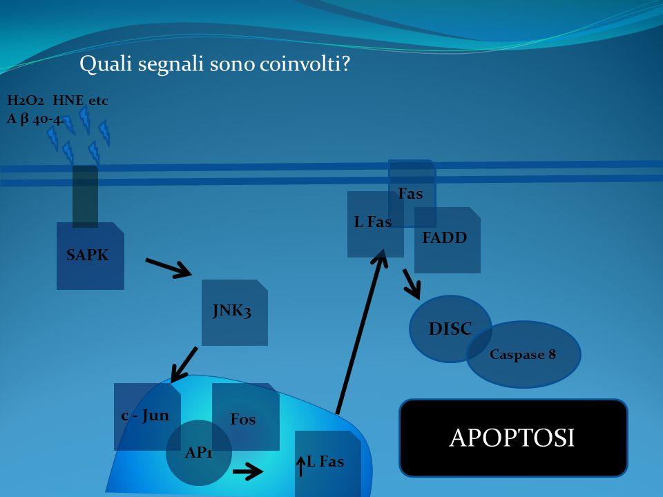 APOPTOSI Quali segnali sono coinvolti DISC Fas L Fas FADD SAPK JNK3
